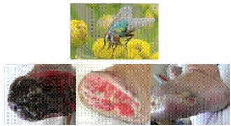 マゴットの治療に用いられるヒロズキンバエと創傷に対する治療効果