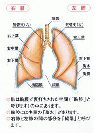 肺の構造図